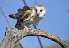 Common barn owl Tyto alba feeding on prey Stock Photos