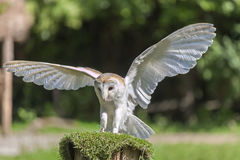 Common barn owl Tyto alba. With open wings Royalty Free Stock Image
