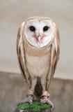 Common barn owl ( Tyto albahead ). Close up Royalty Free Stock Image