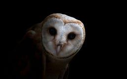 Free Common Barn Owl ( Tyto Albahead ) Close Up Stock Photography - 67747142