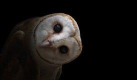 Common barn owl ( Tyto albahead ) close up. Common barn owl ( Tyto albahead ) in dark background Stock Images