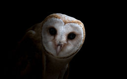 Common barn owl ( Tyto albahead ) close up Stock Photography