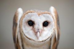 Common barn owl ( Tyto albahead ) close up. Common barn owl ( Tyto albahead ) head close up Stock Image