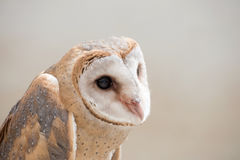 Common barn owl ( Tyto albahead ) close up. Common barn owl ( Tyto albahead ) head close up Royalty Free Stock Images
