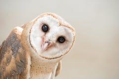 Common barn owl ( Tyto albahead ) close up. Common barn owl ( Tyto albahead ) head close up Stock Images