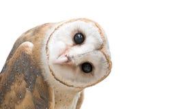 Free Common Barn Owl ( Tyto Albahead ) Isolated Stock Image - 67747801
