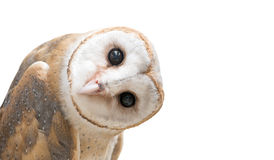 Common barn owl ( Tyto albahead ) isolated stock image