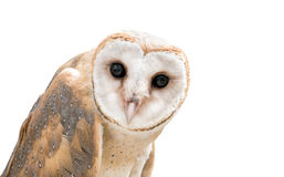 Common barn owl ( Tyto albahead ) isolated Royalty Free Stock Photography