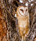 Common Barn Owl in Winter Setting Royalty Free Stock Images