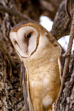Common Barn Owl in Winter Setting Stock Image