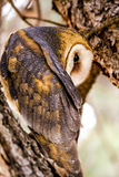 Common Barn Owl in Winter Setting Royalty Free Stock Photography
