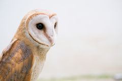 Common barn owl Royalty Free Stock Photography