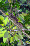 Common basilisk (Basiliscus basiliscus). In its natural habitat Royalty Free Stock Images