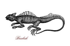 Common basilisk XIX century engraving. Engraving portrait of common basilisk, known also as  Jesus Christ lizard for its ability to run on the water surface. It Royalty Free Stock Photo
