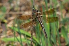 Common Baskettail Dragonfly - Epitheca cynosura. Female Common Baskettail Dragonfly perched on a dead stick. Carden Alvar Provincial Park, Kawartha Lakes Royalty Free Stock Photos
