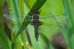 Common Baskettail. Perched on grass royalty free stock photo
