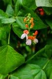 Common bean flowers Stock Photo