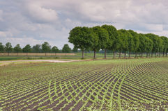 Common bean plants in curved rows Royalty Free Stock Photos