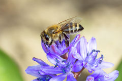 Common bee  / Apis mellifera Royalty Free Stock Photo