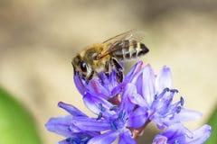 Common bee  / Apis mellifera. Common bee collecting nectar / Apis mellifera Royalty Free Stock Photo