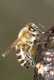 Common bee eating sap / Apis mellifera Royalty Free Stock Photography