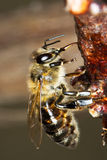 Common bee eating sap / Apis mellifera Royalty Free Stock Photos