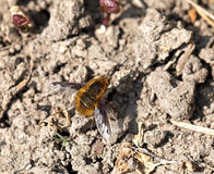 Common Bee-fly Royalty Free Stock Photos