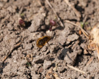 Common Bee-Fly in Flight Royalty Free Stock Photos