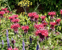 Common beebalm flowers in Chartwell gardens, Kent Stock Photos