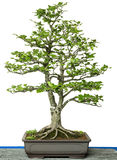 Common beech as bonsai tree Royalty Free Stock Images