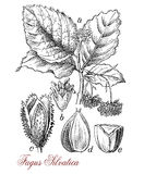 Common beech, botanical vintage engraving Stock Image