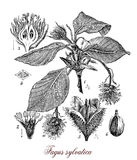 Common beech,botanical vintage engraving Royalty Free Stock Photography