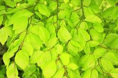 Common beech  (Fagus sylvatica) Royalty Free Stock Photo