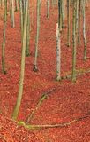 Common Beech forest in late autumn Royalty Free Stock Photography