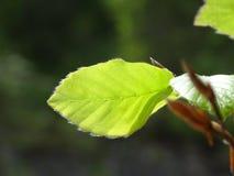 Common beech Stock Image