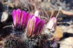 Common beehire cactus, Escobaria vivipara. Common beehive cactus, also named as spiny star, pincushion cactus, Escobaria vivipara found in Saguaro National Park royalty free stock photo