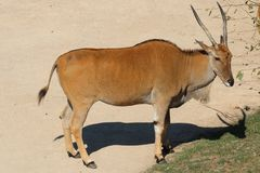 Common beisa oryx Oryx beisa beisa, species of antelope from E. East African oryx, also known as the beisa, species of antelope from East Africa; Common beisa Royalty Free Stock Photography