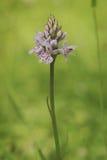 Common beschmutzte Orchidee in der Blüte stockfoto