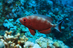 Common bigeye perch Royalty Free Stock Photo