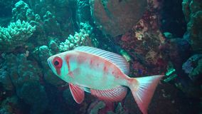 Common bigeye Priacanthus hamrur fish slowly swims over a coral reef stock video footage