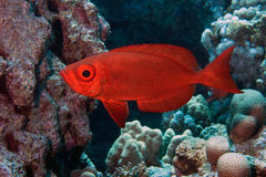 Common bigeye in red sea, Priacanthus hamrur. Common bigeye in red sea (Egypt), Priacanthus hamrur Royalty Free Stock Photography