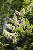 Common bird cherry Prunus padus. Wild Cherry or wrist, or Cherry bird— a species of small trees or shrubs of the genus Plum Pink family Royalty Free Stock Photo