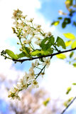Common bird cherry Prunus padus. Wild Cherry or wrist, or Cherry bird— a species of small trees or shrubs of the genus Plum Pink family Stock Photography