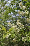 Common bird cherry Prunus padus. Wild Cherry or wrist, or Cherry bird— a species of small trees or shrubs of the genus Plum Pink family Stock Photos