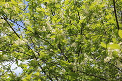 Common bird cherry Prunus padus. Wild Cherry or wrist, or Cherry bird— a species of small trees or shrubs of the genus Plum Pink family Stock Photo