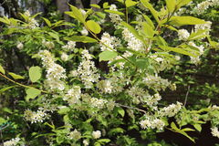 Common bird cherry Prunus padus. Wild Cherry or wrist, or Cherry bird— a species of small trees or shrubs of the genus Plum Pink family Stock Images