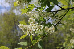 Common bird cherry Prunus padus. Wild Cherry or wrist, or Cherry bird— a species of small trees or shrubs of the genus Plum Pink family Royalty Free Stock Image