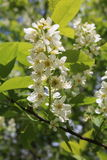 Common bird cherry Prunus padus. Wild Cherry or wrist, or Cherry bird— a species of small trees or shrubs of the genus Plum Pink family Royalty Free Stock Images