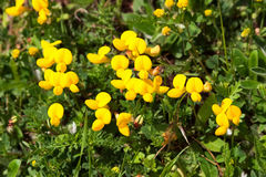 Common birds foot trefoil Stock Photos