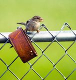 Common Birds Perched at a Rusted Tin Can Bird Feeder Royalty Free Stock Photos